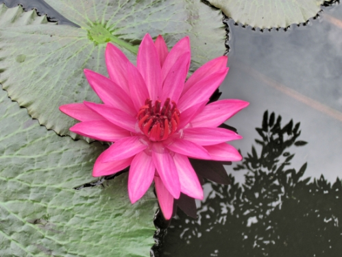 A blooming lotus from the lotus pond at the Maison Dalabua