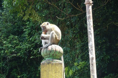A monkey eating a stolen ice cream cone.