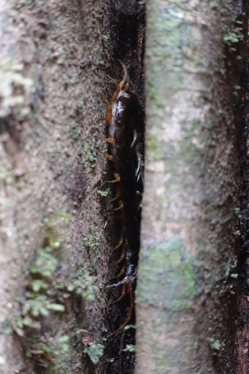 A giant forest centipede (very poisonous).