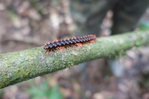 Another millipede species.